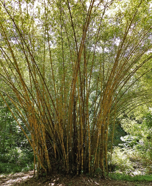 Inside the Keanae Arboretum. Got bamboo?