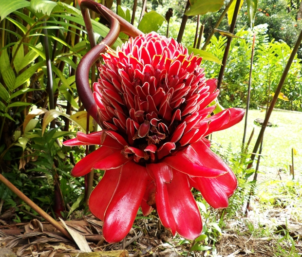 Inside the Keanae Arboretum. This flower was as big as my head.