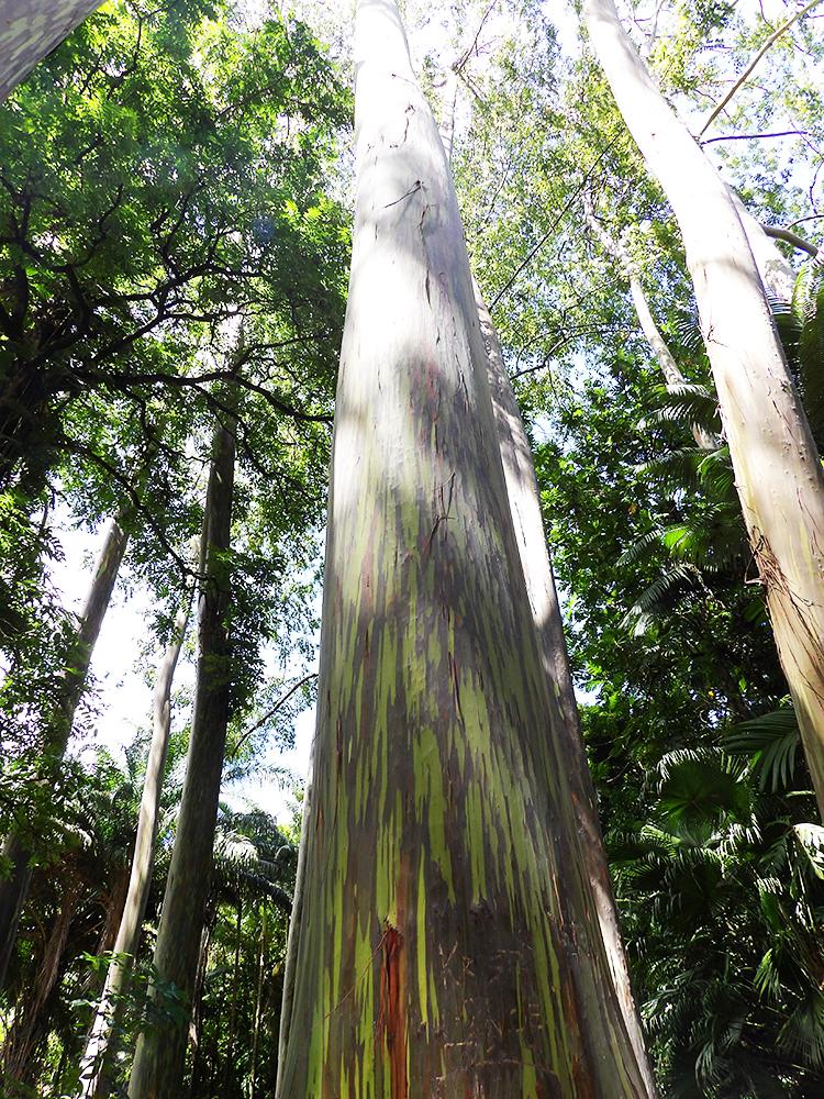 Gorgeous Rainbow Eucalyptus trees